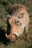 En wrattenzwijn dat eet weidt stock foto's