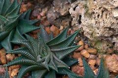 En xerophyte som kallas Sebra Fasciata Haworthia, en växt med band som en sebra Odla på jorden i glashuset till ach Royaltyfria Bilder