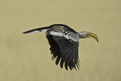 En Yellowbilled Hornbill i flykten Fotografering för Bildbyråer