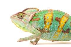 En Yemen kameleont Arkivbild