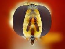 Hoverfly head ytterlighetcloseup Arkivbild