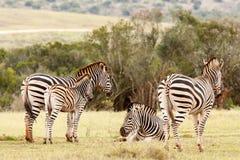 En Zebras die zich verenigen liggen Stock Foto