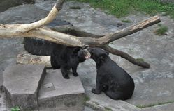 En zoo i Guangzhou, björnarna klöser på Royaltyfria Bilder