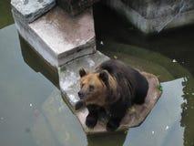 En zoo i Guangzhou, brunbjörn som sitter vid vattnet Arkivbilder