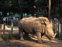 En zoo i Guangzhou, noshörning går om buren Royaltyfri Bild
