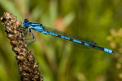 enallagma comune del damselfly di cyathigerum dell'azzurro Immagine Stock Libera da Diritti