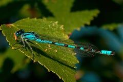 Enallagma cyathigerum, Common Blue Damselfly with Prey Royalty Free Stock Photo