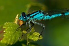 Enallagma cyathigerum, Pospolity Błękitny Damselfly z zdobyczem Zdjęcie Royalty Free