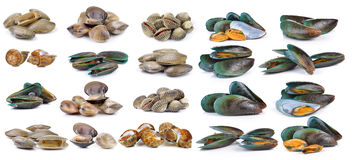 Enamel venus shell, Clam shellfish, Surf clam, mussel,  spotted Royalty Free Stock Images