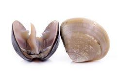 Enamel venus shell on white background Stock Images
