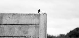 Enarenando solamente, pájaros, maina imagen de archivo