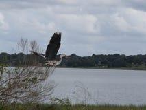 Enarene a Crane Taking Flight de algún cepillo en el lago País de Gales, la Florida fotos de archivo libres de regalías