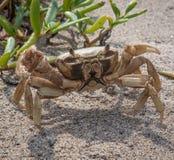 Enarene el cangrejo listo para cargar en el parque nacional de Tayrona, Colombia Foto de archivo