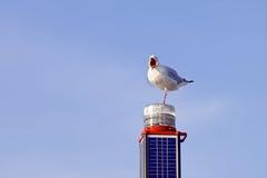 Enbent seagull med den öppnade näbb Arkivbild