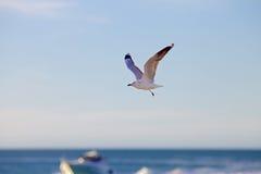 Enbent seagullflyg Arkivfoto
