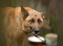 Encadenamiento del perro Imagen de archivo