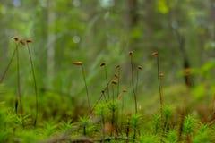Encaissez le macro de plan rapproché de mousse de haircap dans la forêt images stock