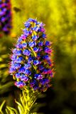 Encanto del azul del spicata del Veronica Imagen de archivo libre de regalías