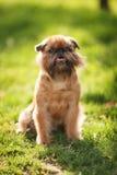 Encanto del perro de Griffon Fotos de archivo libres de regalías