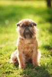 Encanto del perro de Griffon Fotografía de archivo