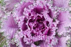 Encaracolado decorativo da alface cor-de-rosa Imagem de Stock