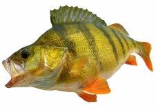 Encarame los pescados aislados en el backgrorund blanco