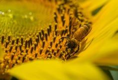 Encargado de la abeja Fotos de archivo libres de regalías