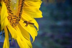 Encargado de la abeja Fotografía de archivo libre de regalías