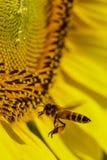 Encargado de la abeja Fotografía de archivo