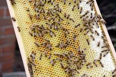 Encargado de la abeja que mira marcos de la colmena de la abeja de la miel Foto de archivo libre de regalías