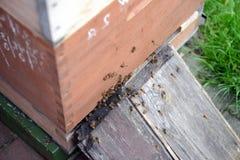 Encargado de la abeja que mira marcos de la colmena de la abeja de la miel Imagen de archivo libre de regalías