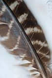 Wild Turkey Feather on White Stock Images