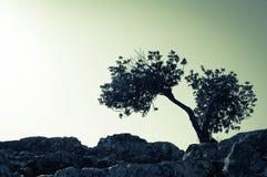 Encenação rachada da árvore Fotos de Stock
