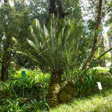 Encephalartos altensteinii, Eastern Cape giant, palm, botanic Stock Photography