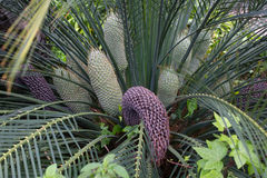 Encephalartos Laurentianus Shrub. Subtropical Cycad Evergreen Palm Like Plant With Red Cones. Cycas. Stock Image