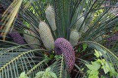 Encephalartos laurentianusbuske Den subtropiska cycadevergreen gömma i handflatan som växten med röda kottar Cycas Arkivfoton
