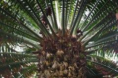 Encephalartos laurentianusbuske Den subtropiska cycadevergreen gömma i handflatan som växten med röda kottar Cycas Royaltyfria Bilder