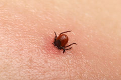 Encephalitis tick Royalty Free Stock Photos