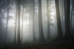 Enchanted fantasy mystical mysterious forest with fog Royalty Free Stock Photo