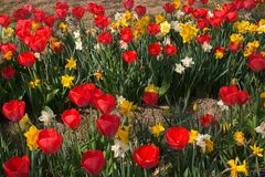 Enchanted field with red tulips and narcissus. During spring day on the park stock photos