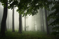 Enchanted forest with fog Royalty Free Stock Image