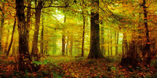 Enchanted Forest. Enchanted golden and green Forest on a foggy October morning in Bavaria royalty free stock image