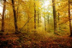 Enchanted Forest. Enchanted golden and green Forest on a foggy October morning in Bavaria Royalty Free Stock Photos