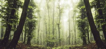 Enchanted forest panorama with mist and green foliage. Surreal enchanted forest panorama with mist and green foliage. Mysterious forest with fog and strange royalty free stock photos