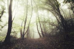 Enchanted forest with sunlight through fog Royalty Free Stock Photo