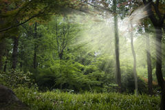 Enchanted forest. Sunlight beams through the trees in an enchanted forest stock photos