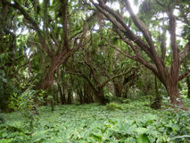 Enchanted forest. Tropical rain forest on Maui Hawaii. Sun filters through the foliage, large trees with many vine plants climbing on the strong tree trunks Royalty Free Stock Photography