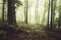 Enchanted green forest with fog Royalty Free Stock Photo