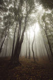 Enchanted magical forest with fog Royalty Free Stock Photos