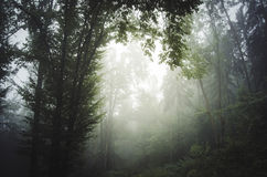 Enchanted mystical forest with fog. Enchanted mystical mysterious forest with fog royalty free stock photo